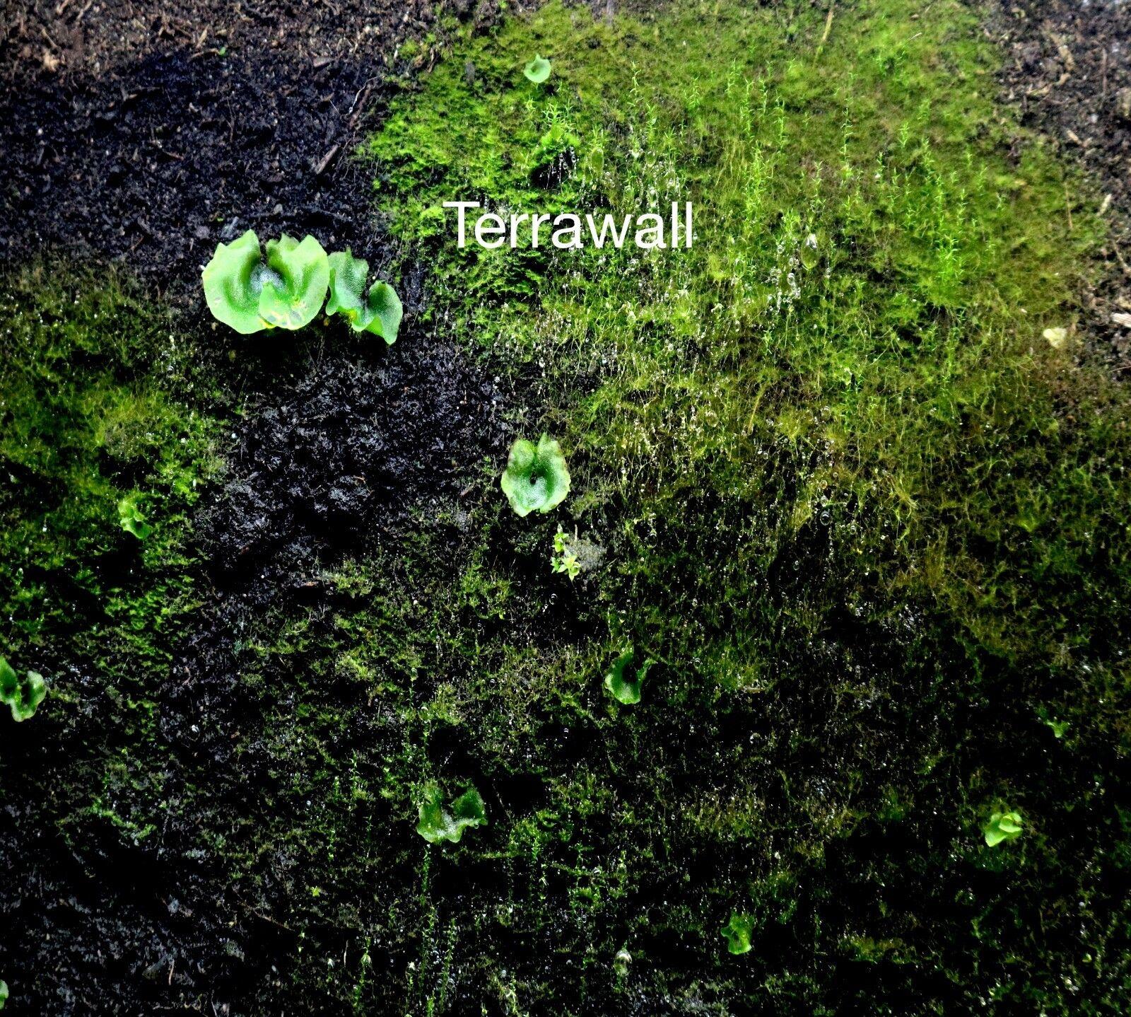 Terrario parete posteriore terrawall ➕    struttura  foresta pluviale 1x 1000x500x10mm NUOVO 72c61a