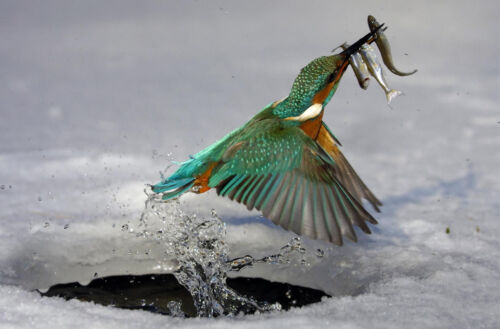 Bird Picture Framed Print Kingfisher Fishing out of a Ice Hole with Fish
