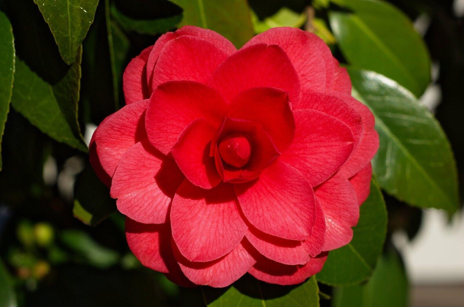 10Pcs Camellia Flower Seeds Theaceae Tea Bush Beautiful Plants for Garden Home