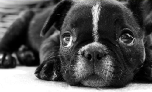 Bulldog Puppy with Sad Eyes Black /& White Picture Poster Animal Framed Print