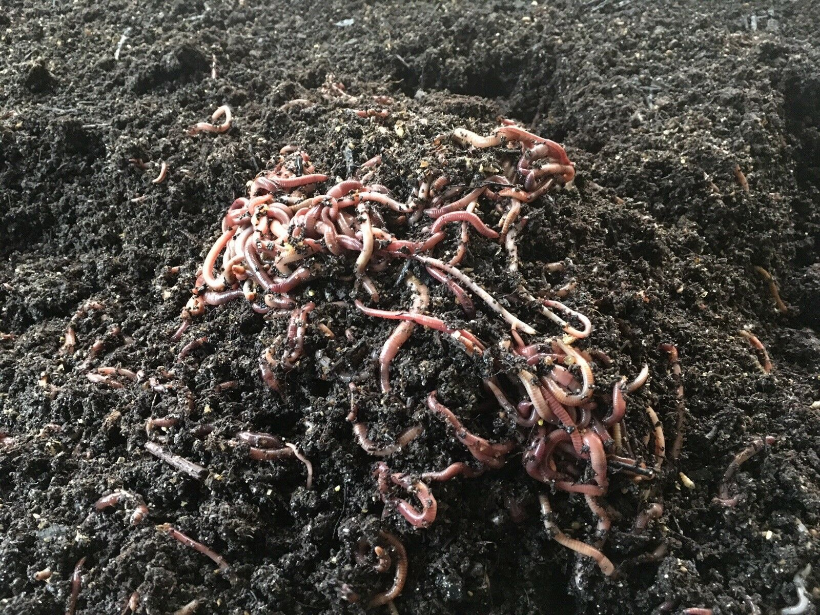 4 pounds Georgia Red Wiggler  Worms (approximately 4,000 worms)  cheaper prices