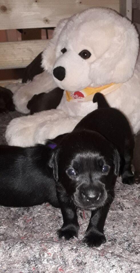 Labrador, hvalpe, 3 uger