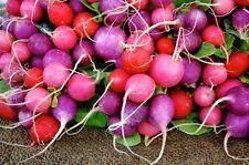 Easter Egg Radish *Heirloom* Non-GMO (300 Seed's)
