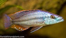 Four Fish Colony Dimidiochromis compressiceps Malawi Eyebiter Cichlid 1.5 inch