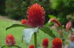 Globe-Amaranth-Orange-Seed-Good-Cut-Flower-BrightColour