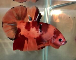live betta fish Top quality Giant Nemo Patterned  size BO5.2cm (for Collectors)