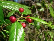 Rhamnus Prinoides - African Dogwood - Rare Tropical Plant Shrub Seeds (4)