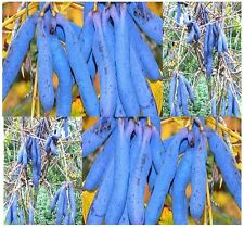 (5) Blue Sausage Fruit Seeds - Decaisnea fargesii - Combined S&H
