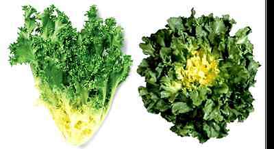 GIANT BATAVIAN ENDIVE * 200 SEEDS * TIGHT HEADS * CREAMY WHITE HEART* BUTTERY