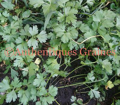 500//2000 GRAINES Persil Plat Géant Italie Résistante Froid Saveur Incroyable