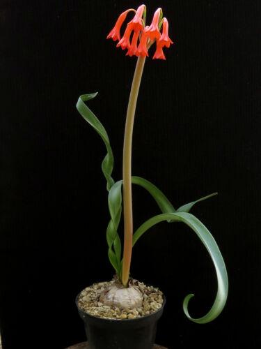 Cyrtanthus spiralis,Caudex,Ariocarpus,Bulb