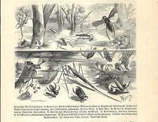 Stampa antica INSETTI Notonecta glauca e altri INSECTA 1891 Old antique print