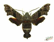 nessus sphinx hawkmoth Amphion floridensis x1 M A- collector day flying display