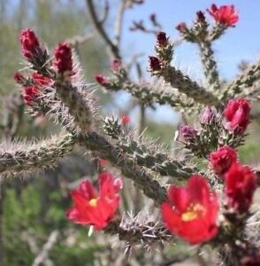 Cane-Cholla-Cactus-Cylindropuntia-spinosior-Walkingstick-Lot-of-6-Plant-Cuttings