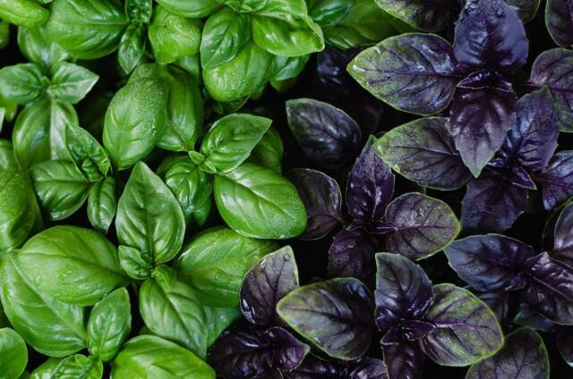 100Pcs 5 Types Basil Herb Seeds Sweet Rare Viable Basilicum seeds Medical Herbs