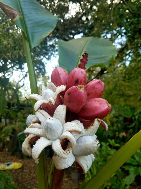 Musa Velutina AKA the PINK BANANA, dwarf fruit tree, live plant (Plant A)