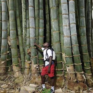 40x-Samen-Phyllostachys-Pubescens-Seltene-Riesen-Moso-Bambussamen-Gartenpfl-D6V6