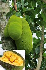 ORGANIC FRESH JACK FRUIT SEEDS WORLD LARGEST TROPICAL FRUIT SEEDS CEYLON