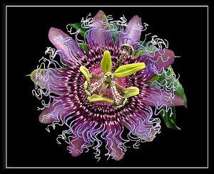 4 Graines Fruit De Passion Rustique Passiflora Incarnata G763 Maypop Seeds Samen Pour Aider à DigéRer Les Aliments Gras