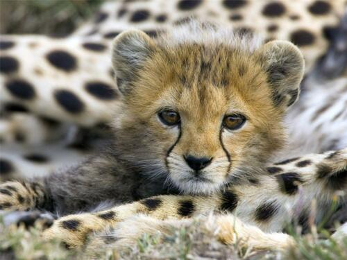 CUTE BABY CHEETAH GLOSSY POSTER PICTURE PHOTO speed infant decor wall hang 410