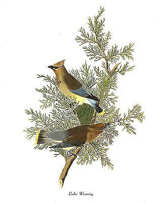 "1978 Vintage AUDUBON BIRDS /""RUFOUS HUMMINGBIRD/"" STUNNING Color JUMBO Lithograph"