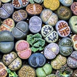 Seltene-lebende-Steine-Pflanze-Sukkulenter-Kaktus-Frische-100-Stueck-Samen