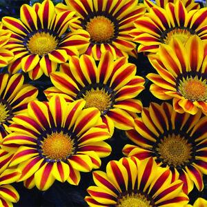 Gazania-Seeds-Rigens-Potted-Flowers-Gazania-Seeds-Sunflowers-Africa-Flower-Seeds