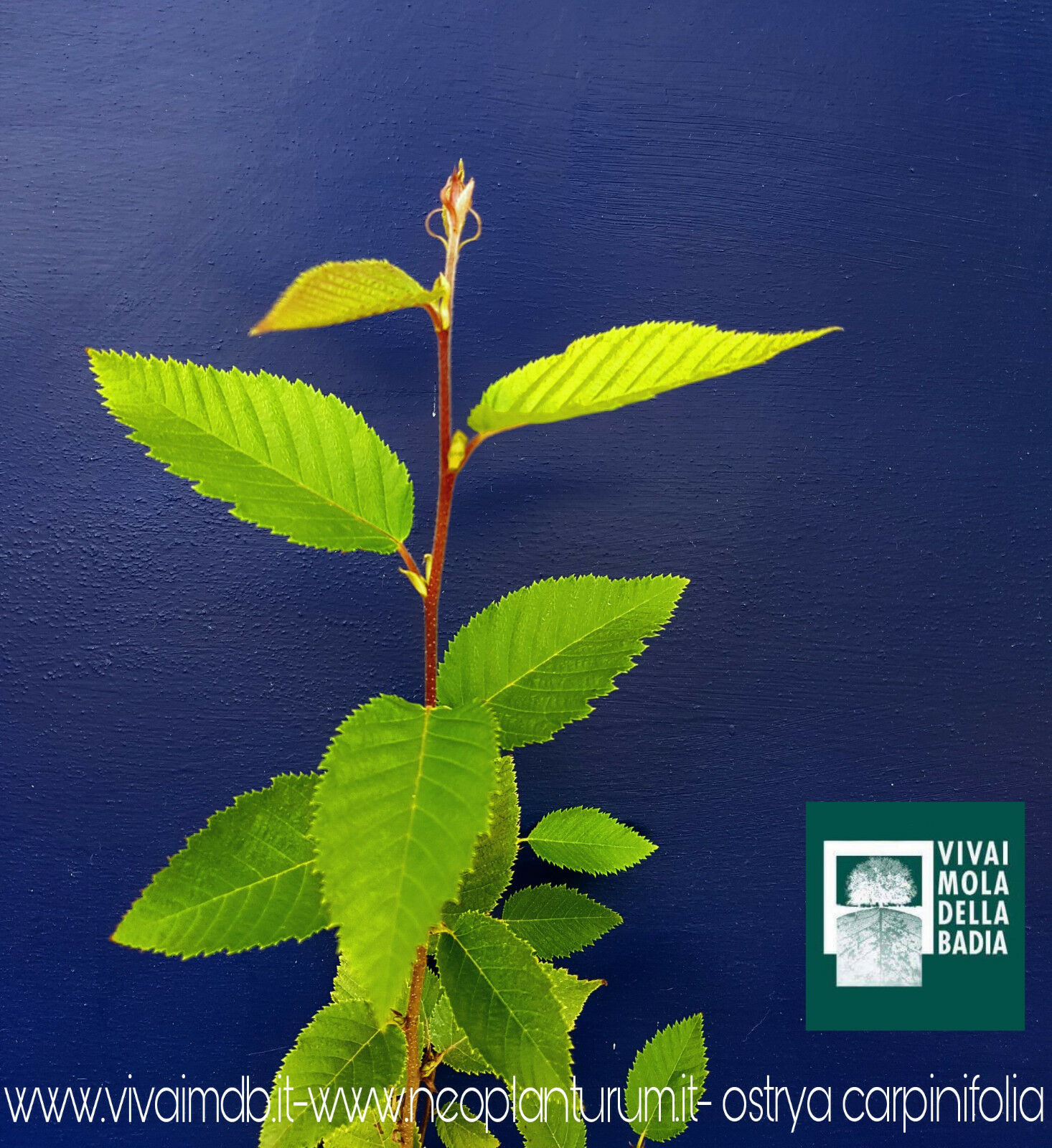 Ostrya Cochepinifolia Oferta 40 Plantas en Alvéolo Cochepe Negro Planta Plant