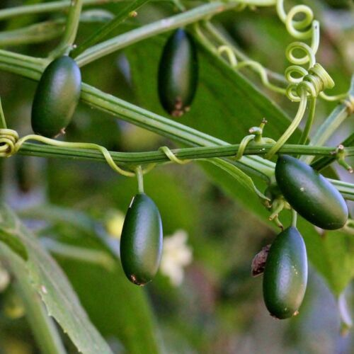 Details about  /rare cayaponia bonariensis 5 seeds
