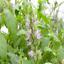 potted 11x11x12 Pogostemon cablin Medicinal Plant patchouli