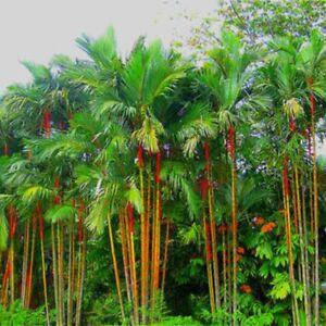 50-Stueck-Rot-Palme-Cyrtostachys-Samen-Winterhart-Pflanze-Palme-Samen-Garten