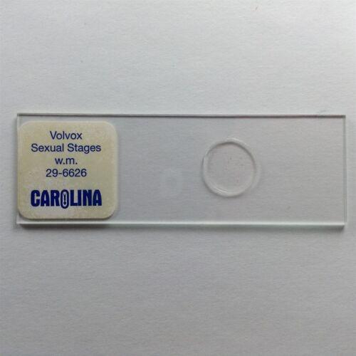 29-6626 068 Vintage Microscope Slide Carolina Volvox Sexual Stages W.M