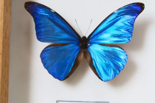 REAL METALLIC BLUE BRAZILIAN BUTTERFLY MORPHO RHETENOR EUSEBES FRAMED