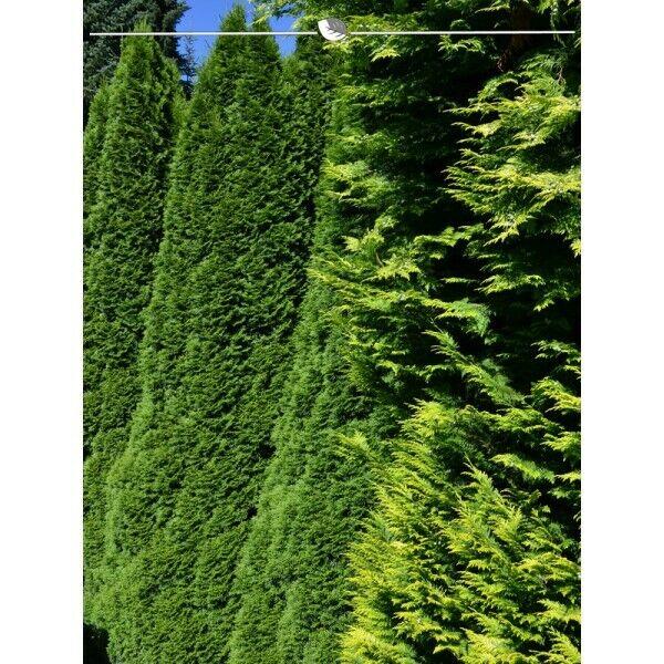 Lebensbaum Thuja Smaragd 180-200 cm, 7x immergrüne Konifere. Heckenpflanze