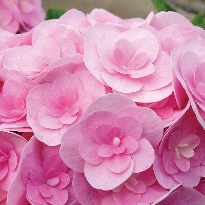 Hydrangea Love in 2L pot