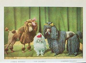 Details About Vintage Poodles Curly Toy Corded Color 1919 Rare Art Print
