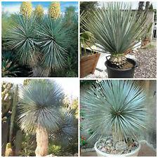 10 graines yucca rigida, plantes grasses, cactus,seed succulents F