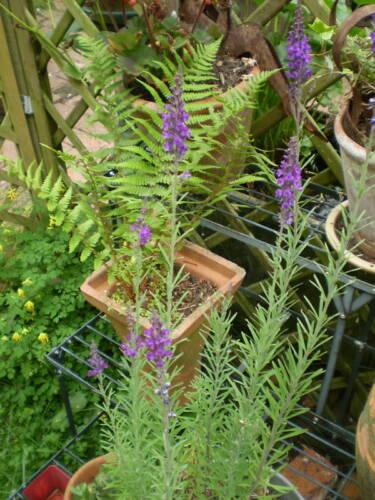 ORGANIC NORFOLK LINARIA PURPUREA.50 SEEDS,BEE LOVING PLANT