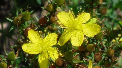 250 Semillas  Hiperico Hierba de San Juan seeds Hypericum perforatum