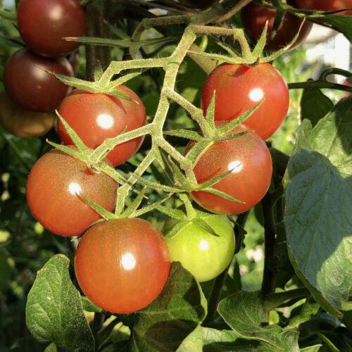 Negro Azteca dunkle Tomate Azteka außergewöhnliche Sorte tolle Fruchtfarbe