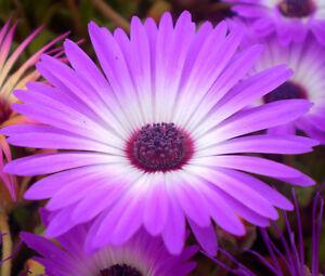 ICE-PLANT-PURPLE-STARDUST-Delosperma-Floribunda-200-Bulk-Seeds