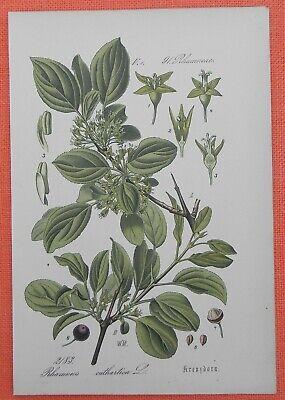 Kreuzdorn Rhamnus Wegedorn Lithographie 1885 Profitieren Sie Klein