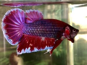 """betta fish male Giant Lavender Size BO 1""""7/8 High Quality From Indonesia"""