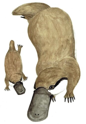 nursery prints neutral gender nursery decor wombat 4 Australian Animal Print