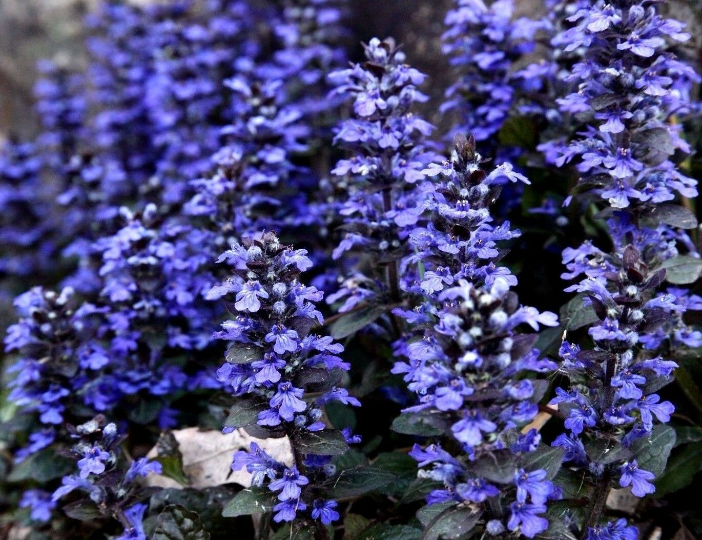 Bugle ground cover perennial ajuga reptans groundcover bugleweed 20 bugle forms a thick mat of leaves that are quite attractive but especially when they bloom and become covered in masses of true deep blue flower spikes izmirmasajfo