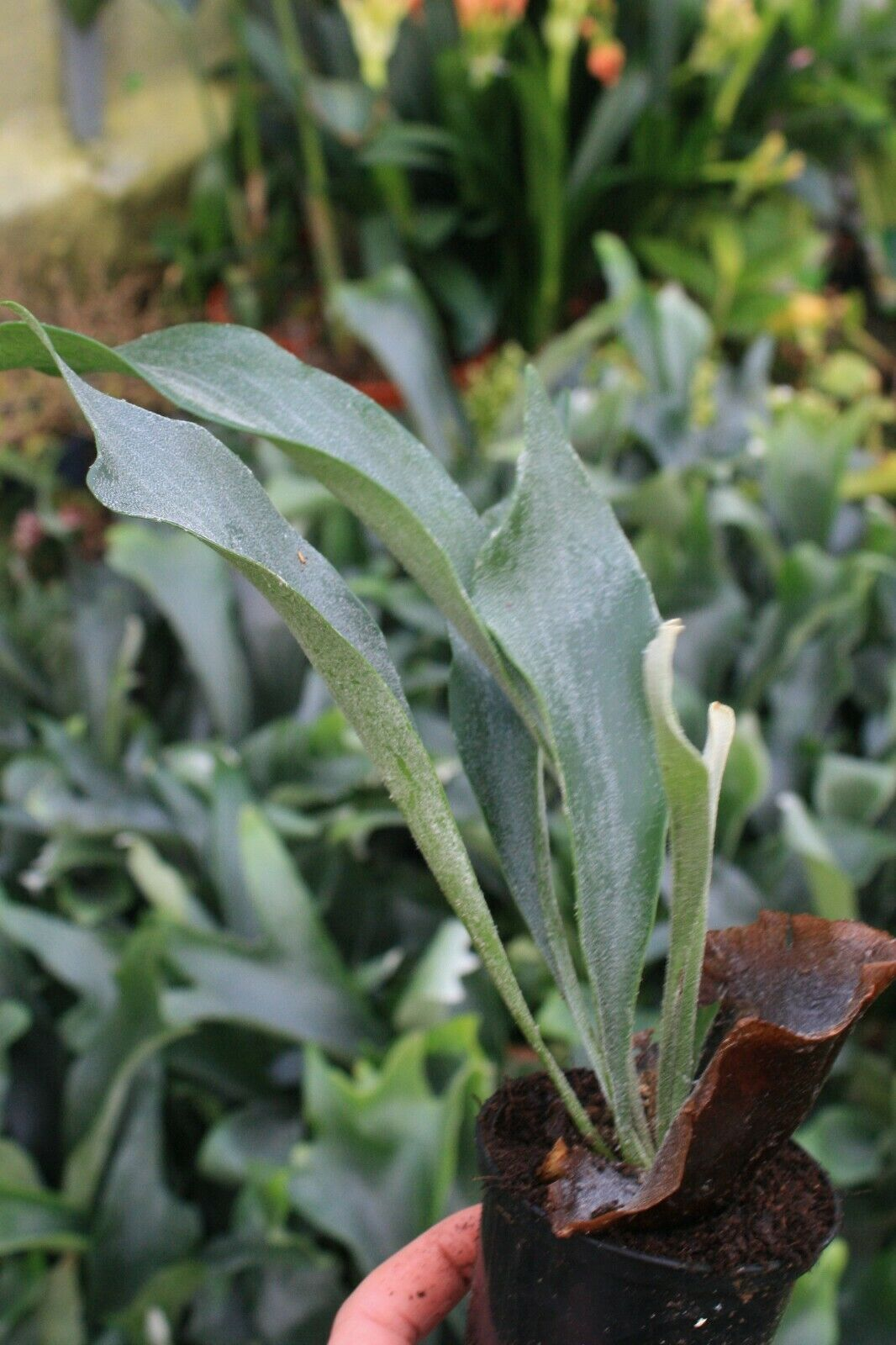 Platycerium bifurcatum Staghorn Fern 9cm pot Please Read Description & T&Cs