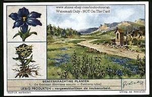 Gentian-Flower-Plant-Medical-Herb-Drug-c70-Y-O-Trade-Ad-Card