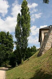 Pyramidenpappel-Populus-nigra-039-Italica-039-125-150-cm-Stammumfang-5-cm-wurzelnackt
