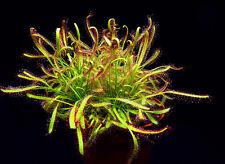 50+ Semi Drosera capensis pianta carnivora