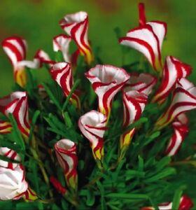 US-vendeur-Oxalis-versicolor-Fleurs-Graines-100Pcs-belles-plantes-a-fleurs